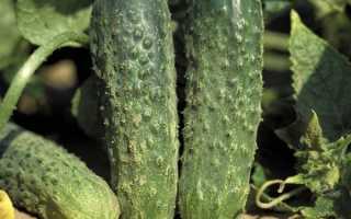 Огурцы Аякс: описание и характеристики сорта, выращивание с фото
