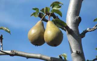 Почему не плодоносит груша: причины и что делать, как заставить цвести