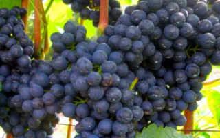 Вино из кислого винограда: как сделать в домашних условиях, лучшие сорта, хранение