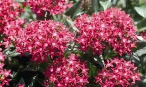 Цветок пентас: выращивание из семян, правила ухода и описание лучших сортов