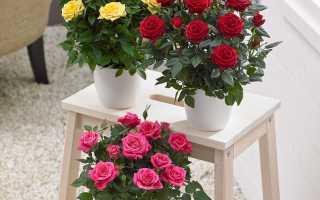 Комнатная роза: виды и сорта, как выращивать и ухаживать в горшке в домашних условиях