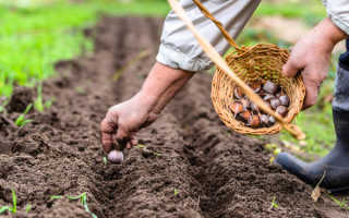 Чеснок Китайский: описание сорта, выращивание и отзывы дачников с фото