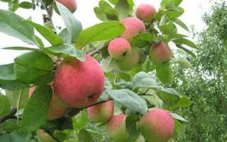 Яблоня Грушовка Московская: описание и характеристики сорта, выращивание и уход