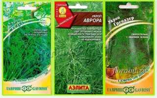 Укроп Грибовский: описание и характеристика сорта, выращивание с фото