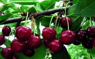 Вишня Живица: описание и характеристики сорта, урожайность и выращивание