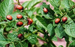 Клотиамет от колорадского жука: инструкция по применению средства