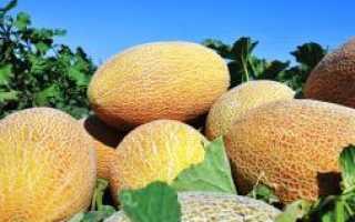 Дыня Алтайская: описание и характеристика сорта, выращивание и уход с фото