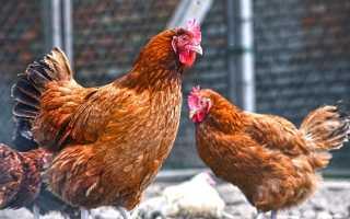 Может ли курица нести яйца без петуха: нужен или нет для яйценоскости, зачем и сколько