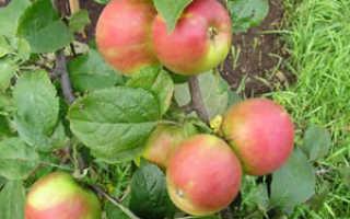 Яблоня Юный натуралист: описание сорта и регионы выращивания, зимостойкость с фото