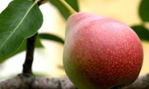 Груша Лесная красавица: описание сорта и характеристики, выращивание и уход