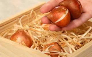 Тюльпаны: хранение луковиц после перекопки в домашних условиях перед посадкой осенью