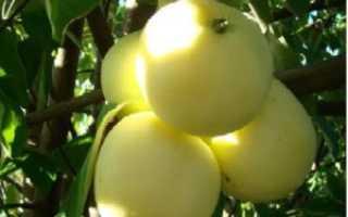Яблоня Дочь Папировки: описание сорта и особенности выращивания, урожайность