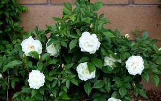 Роза плетистая Айсберг: описание сорта и характеристики, правила посадки и ухода