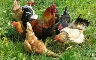 Как оплодотворяет петух курицу: схема спаривания и описание процесса размножения