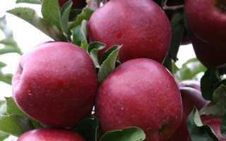 Яблоки Черный принц и Джонапринц: описание сорта и характеристики с фото