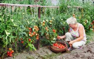 Помидоры для Башкирии открытый грунт: лучшие сорта с фото