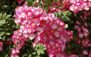 Мускусные розы: особенности, популярные сорта, тонкости посадки и ухода