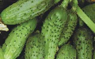 Огурец кустовой: характеристика и описание сортов для открытого грунта, выращивание фото и отзывы