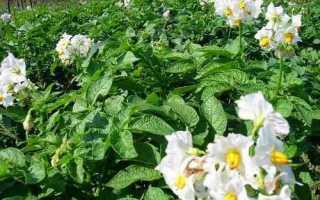 Внекорневая подкормка картофеля удобрениями во время цветения