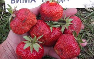 Клубника Вима Тарда: описание сорта, посадка и уход, выращивание и размножение с фото