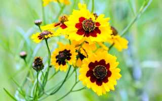 Кореопсис многолетний – посадка и уход