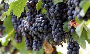 Виноград Вэлиант: описание и характеристики сорта, выращивание и хранение с фото