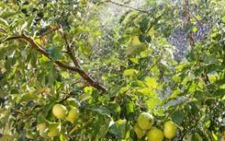 Подкормка яблонь весной, летом и осенью во время созревания и плодоношения
