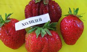 Клубника Холидей: описание сорта и характеристики, выращивание и уход с фото