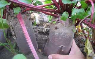 Посадка свеклы семенами в открытый грунт: как правильно и когда?