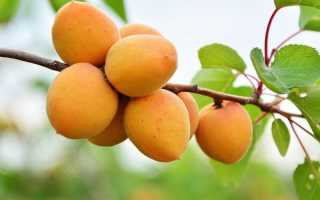 Абрикос Царский: описание сорта, характеристики урожайности и сроков созревания