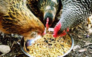 Чем кормить кур зимой: состав рациона, норма, приготовление в домашних условиях