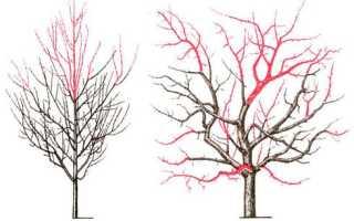 Обрезка груши: когда и как это сделать правильно, корона, образующая диаграмму для начинающих