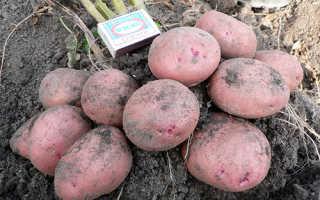 Картофель Журавинка: характеристика и описание сорта, урожайность с фото