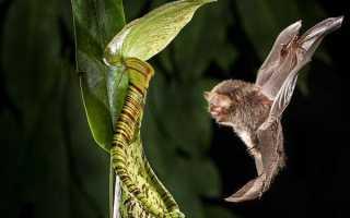 Непентес: описание растения, виды и уход в домашних условиях