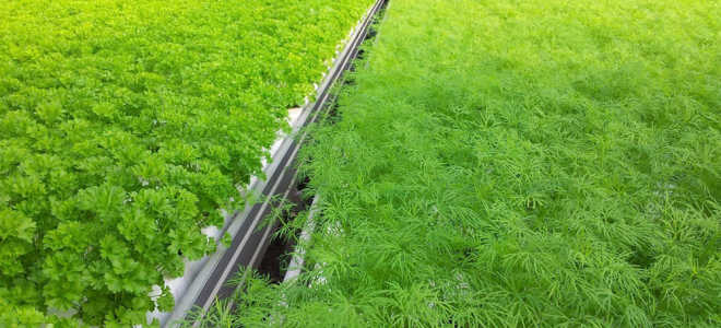 Выращивание укропа в теплице зимой: как правильно сажать и ухаживать с видео