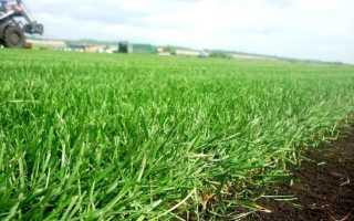 Травы (27 фото): описание мятлика газонной травы, достоинства и недостатки семян, характеристики мятлика прокатного, отзывы