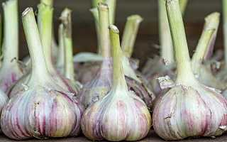 Чеснок Лазурный: описание сорта, выращивание и уход с фото