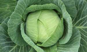 Капуста Подарок: описание и характеристика сорта, урожайность с фото