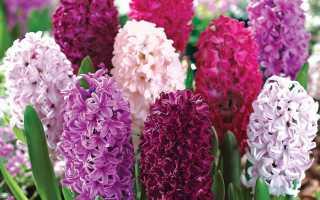 Гиацинты: сорта и виды с описанием и характеристиками, выращивание дома и в открытом грунте