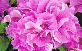 Петуния махровая: описание сортов, посадка, выращивание и уход после цветения с фото