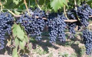 Виноград Надежда Азос: описание сорта и история, уход и особенности посадки с фото