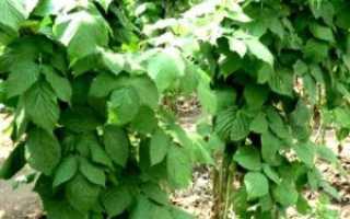 Почему ягоды малины не растут: что делать и как вернуть плодоношение