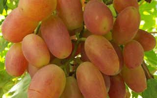 Виноград Сенсация: описание и характеристики сорта, особенности выращивания