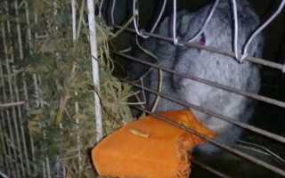 Можно ли давать кроликам тыквы и их ботву и в каком количестве?