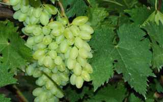 Виноград Столетие: описание и характеристики сорта кишмиша, выращивание и уход