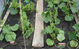 Любимые огурцы ф1 Мамми: отзывы, фото и описание сорта, посадка и выращивание, опыление и уход