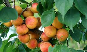 Абрикос Успех: описание и характеристики сорта, особенности выращивания с фото