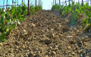 Какая почва нужна для винограда: кислая или щелочная, нужный ph