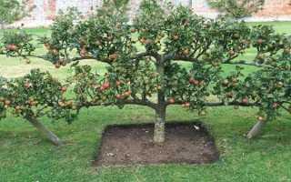 Стелющаяся яблоня: описание и характеристики, посадка и уход, обрезка