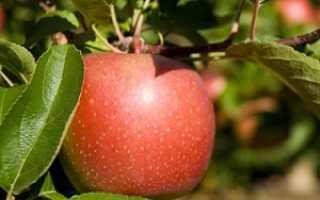 Яблоня Кортланд: описание сорта и характеристики, история и урожайность с фото